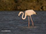 Flamingo - Greater Flamingo - Phoenicopterus ruber