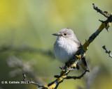 Grauwe Vliegenvanger - Spotted Flycatcher - Muscicapa striata