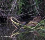 Kleinst Waterhoen - Baillon's Crake - Porzana pusilla