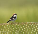 Roodkopklauwier - Woodchat Shrike - Lanius senator