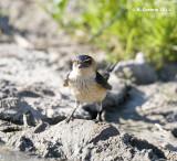 Roodstuitzwaluw - Red-rumped Swallow - Hirundo daurica