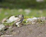 Steenuil - Northern Little Owl - Athene noctua