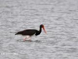 Zwarte Ooievaar - Black Stork - Ciconia nigra