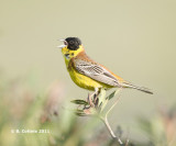 Zwartkopgors - Black-headed Bunting - Emberiza melanocephala