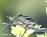 Madeiravink - Fringilla coelebs maderensis