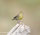 Kanarie - Atlantic Canary - Serinus canaria