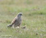 Torenvalk - Common Kestrel - Falco tinnunculus