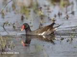 Waterhoen - Common Moorhen - Gallinula chloropus