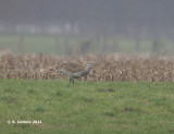 Grote Trap - Great Bustard - Otis tarda