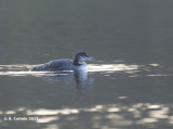 IJsduiker - Great Northern Loon - Gavia immer