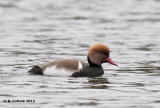 Krooneend - Red-crested Pochard - Netta rufina
