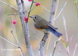 Blauwstaart - Red-flanked Bluetail