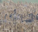 Dwerggans - Lesser White-fronted Goose