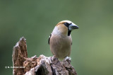 Appelvink - Hawfinch - Coccothraustes coccothraustes
