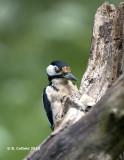 Grote Bonte Specht - Great Spotted Woodpecker - Dendrocopos major