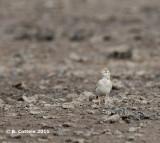 Kortteenleeuwerik - Greater Short-toed Lark - Calandrella brachydactyla