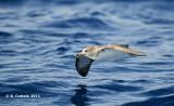 Kuhls Pijlstormvogel - Cory's Shearwater - Calonectris borealis