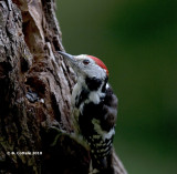 Middelste Bonte Specht - Middle Spotted Woodpecker - Dendrocopos medius