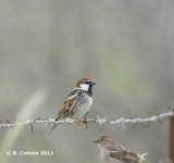 Spaanse Mus - Spanish Sparrow - Passer hispaniolensis