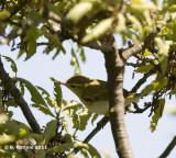 Fluiter - Wood Warbler