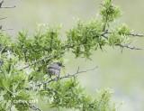 Oostelijke Orpheusgrasmus - Eastern Orphean Warbler - Sylvia crassirostris
