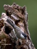 Glanskop - Marsh Tit - Parus palustris