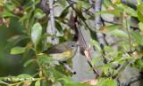 Rouwkopzanger - MacGillivray's Warbler - Oporornis tolmiei