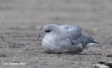 Noordse Stormvogel - Northern Fulmar - Fulmaris glacialis