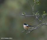Maskerklauwier - Masked Shrike - Lanius nubicus