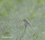 Paapje - Whinchat - Saxicola rubetra