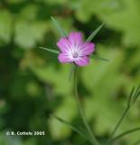 Bolderik - Common Corncockle - Agrostemma githago