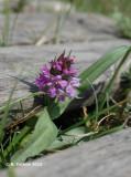 Brede Orchis - Western Marsh Orchid - Dactylorhiza majalis majalis