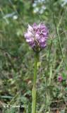 Drietandorchis - Orchis tridentata