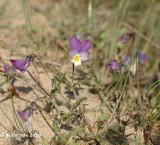 Duinviooltje - Viola curtisii