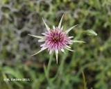 Paarse Morgenster - Tragopogon porrifidius