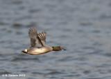 Wintertaling - Common Teal - Anas crecca