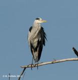 Blauwe Reiger - Grey Heron - Ardea cinerea