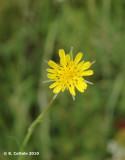 Gele Morgenster - Tragopogon pratensis pratensis