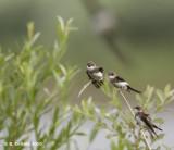 Oeverzwaluw - Sand Martin - Riparia riparia