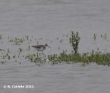 Poelruiter - Marsh Sandpiper - Tringa stagnatilis