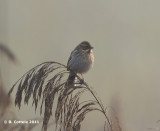 Rietgors - Common Reed Bunting - Emberiza schoeniclus