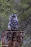 Oeraluil - Ural Owl - Strix uralensis