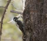 Drieteenspecht - Three-toed Woodpecker - Picoides tridactylus