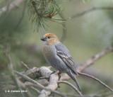Haakbek - Pine Grosbeak - Pinicola enucleator