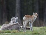 Rendier - Reindeer - Rangifer tarandus