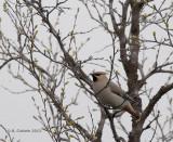 Pestvogel - Bohemian Waxwing - Bombycilla garrulus