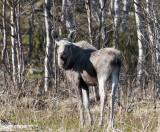 Eland - Eurasian Elk - Alces alces