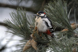 Great Spotted Woodpecker (Tendrocopos Major)