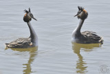 Great Crested Grebe 1 (Podiceps cristatus)