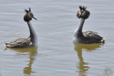 Great Crested Grebe 2 (Podiceps cristatus)
